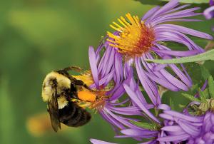 203 Duke Farms Hillsborough NJ New England Aster w Bee 091513 OK EWN 9x6 in 300 res