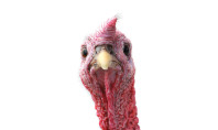 Let's Talk Turkey: Thanksgiving by the Numbers