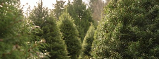 crystal springs tree farm feature photo