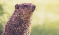 Ain't Nothin' But A Groundhog